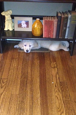 August laying on a vent beneath a bookshelf