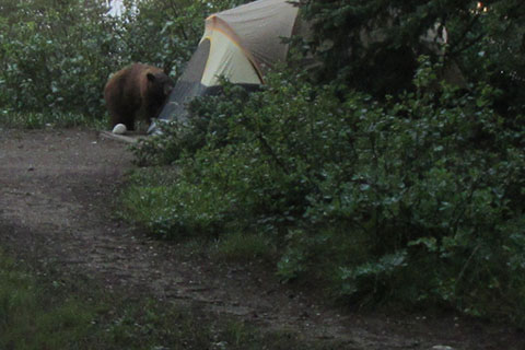 Black bear outside of a tent at Jenny Lake Campground